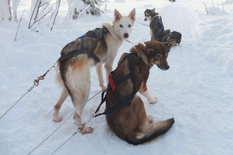 Zweeds-lapland-lulea-husky