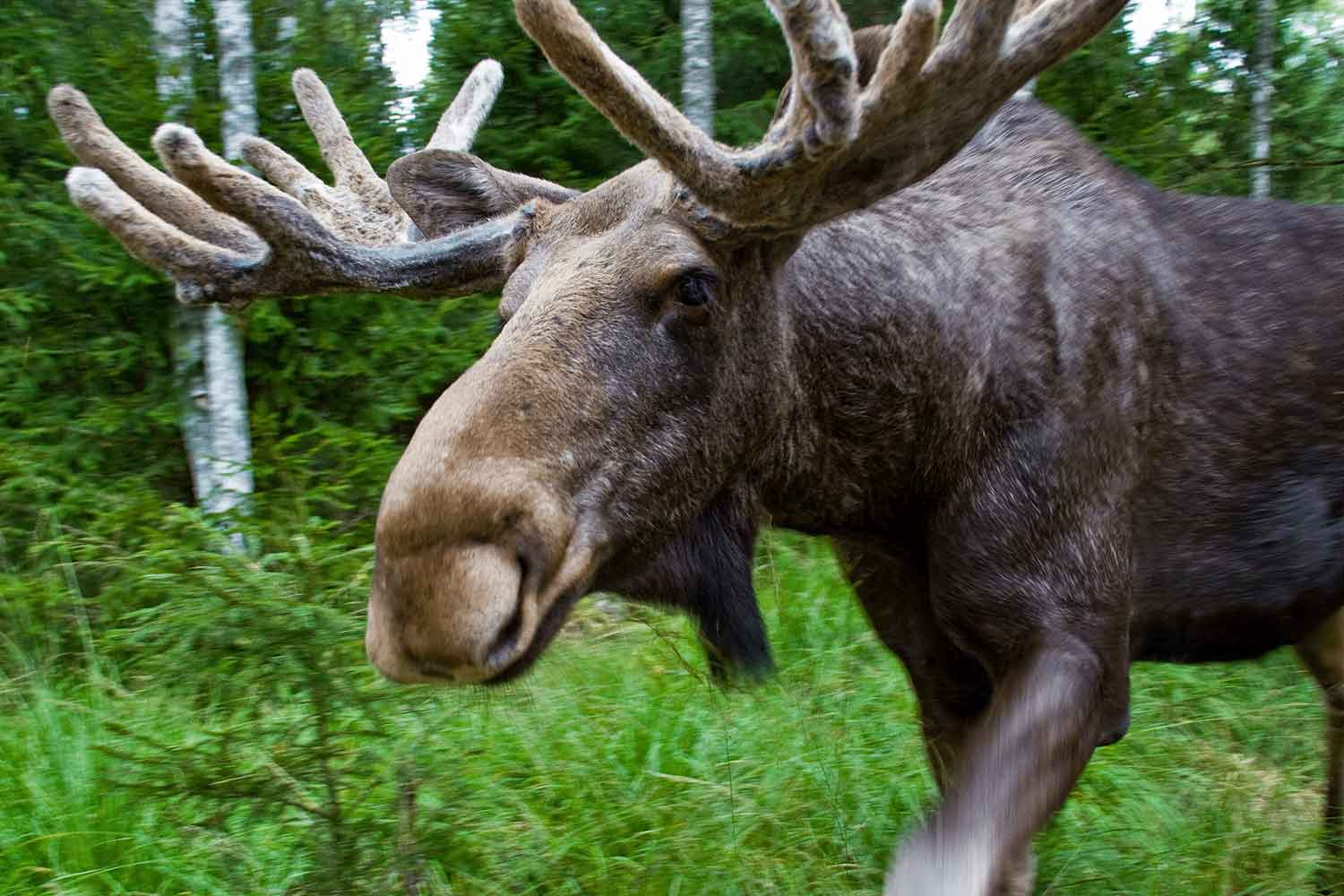 Swedish-Lapland-lulea-moose