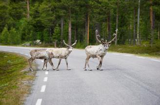 Swedish Lapland reindeer lulea travel