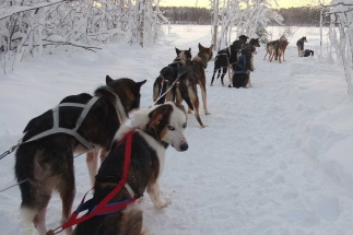 dog sledding tours luleå