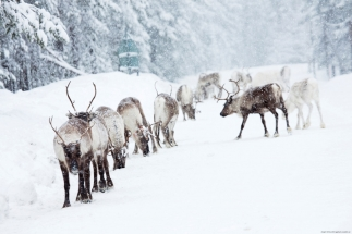 lulea travel reindeer