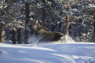 Wildlife - Moose in snow