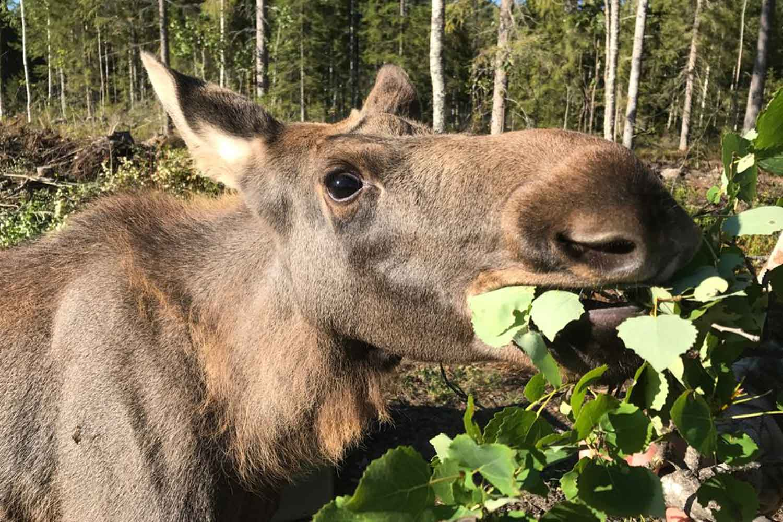 lulea moose