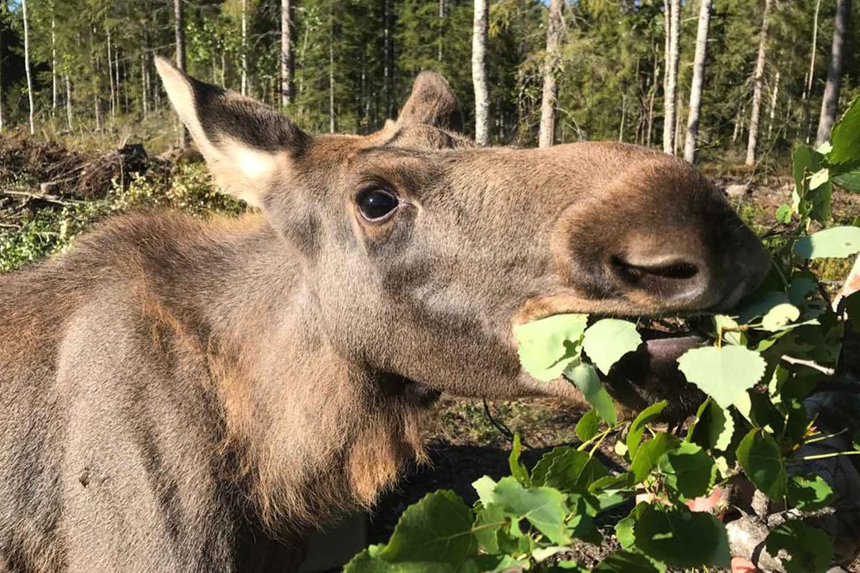 meet a moose