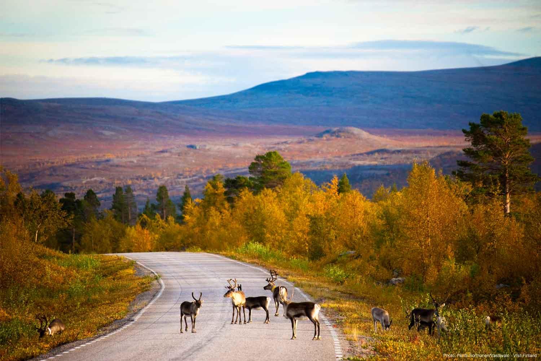 Finland-autumn-reindeer