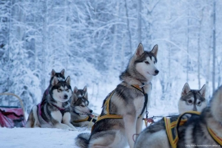 Dog sledding Lulea