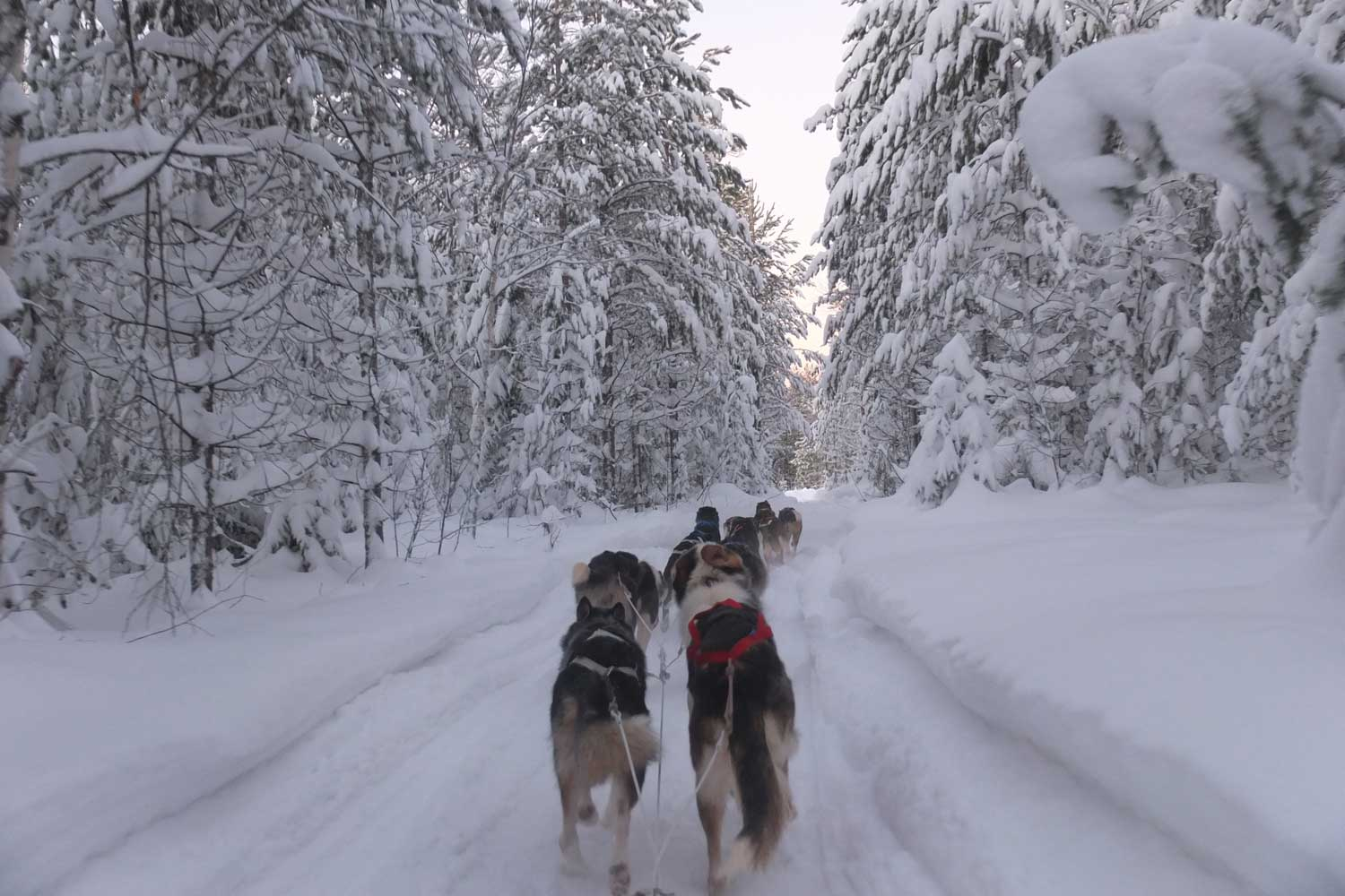 dogsled tour